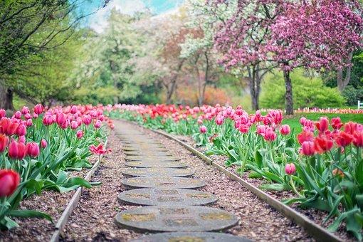tulipány zahrada